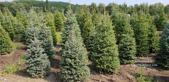 Ель голубая Глаука (Picea pungens Glauca) ФОТО Питомник растений Природа (13)