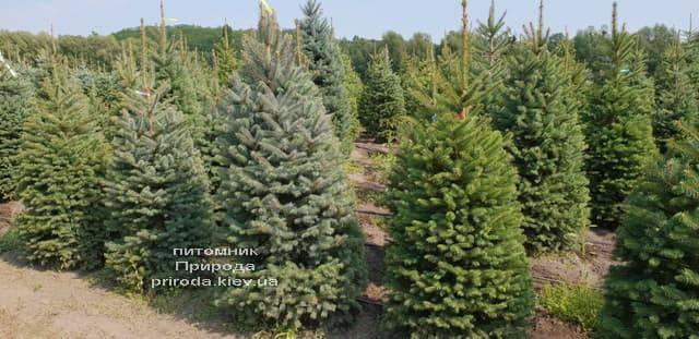 Ель голубая Глаука (Picea pungens Glauca) ФОТО Питомник растений Природа (16)
