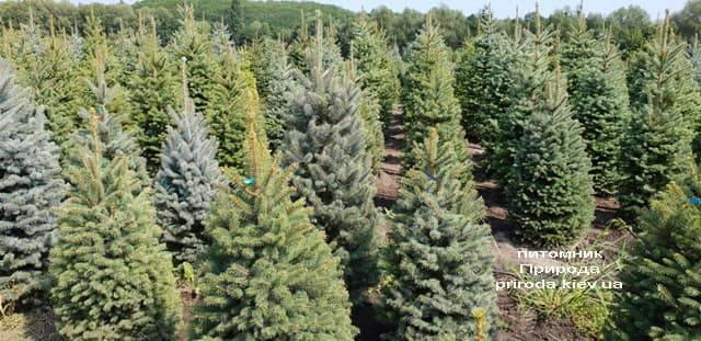 Ель голубая Глаука (Picea pungens Glauca) ФОТО Питомник растений Природа (17)