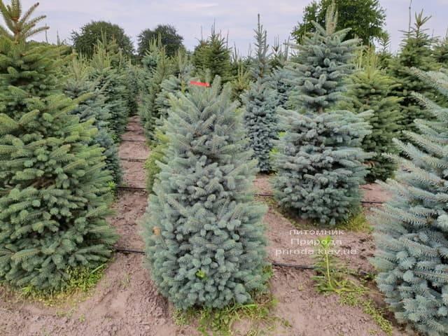 Ялина блакитна Глаука (Picea pungens Glauca) ФОТО Розплідник рослин Природа (2)