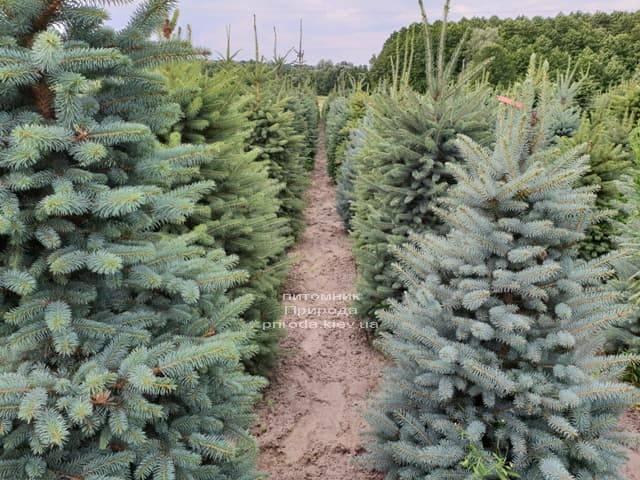 Ялина блакитна Глаука (Picea pungens Glauca) ФОТО Розплідник рослин Природа (3)