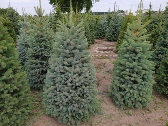 Ель голубая Глаука (Picea pungens Glauca) ФОТО Питомник растений Природа (8)