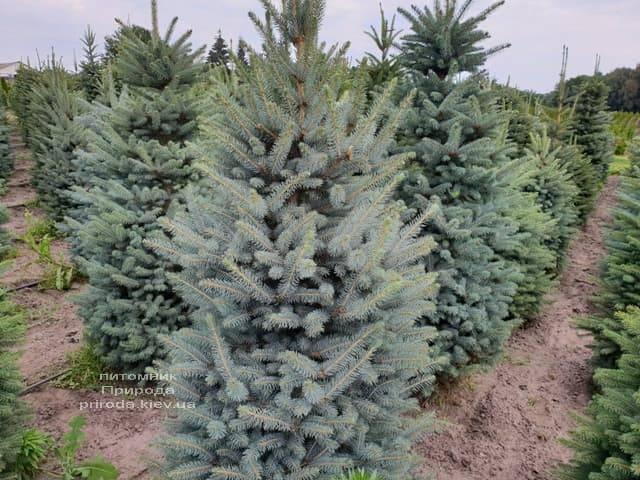 Ялина блакитна Глаука (Picea pungens Glauca) ФОТО Розплідник рослин Природа (9)