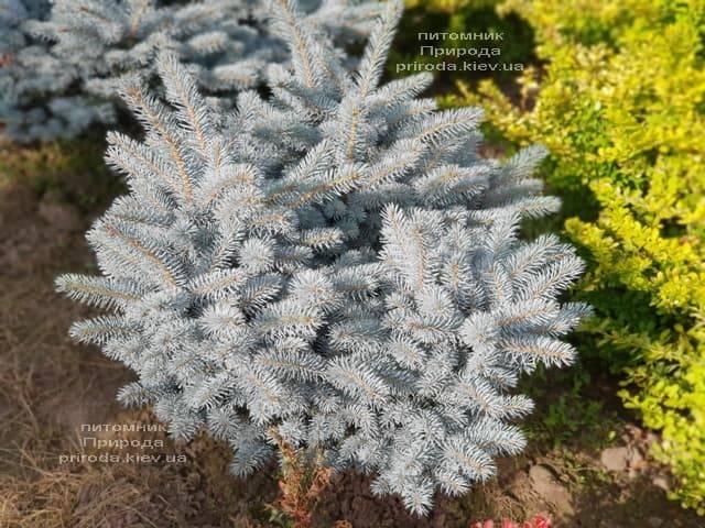Ель голубая Глаука Глобоза (Picea pungens Glauca Globosa) ФОТО Питомник растений Природа (2)