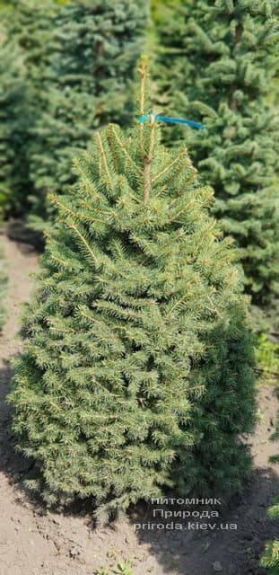 Ялина зелена колюча Глаука (Picea pungens Glauca) ФОТО Розплідник рослин Природа (1)