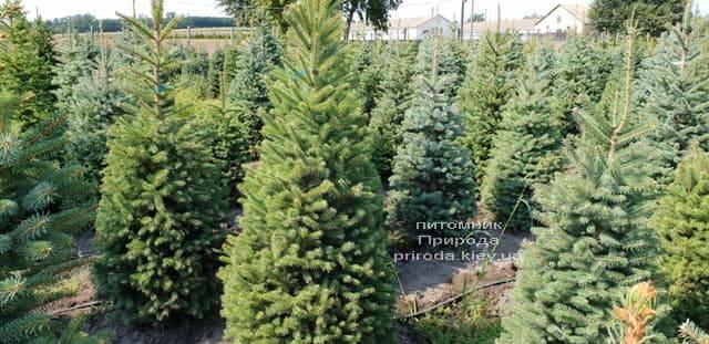 Ялина зелена колюча Глаука (Picea pungens Glauca) ФОТО Розплідник рослин Природа (10)