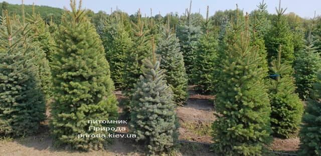 Ялина зелена колюча Глаука (Picea pungens Glauca) ФОТО Розплідник рослин Природа (11)