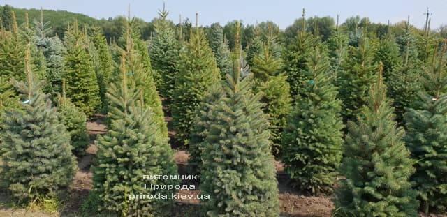 Ель зелёная колючая Глаука (Picea pungens Glauca) ФОТО Питомник растений Природа (12)