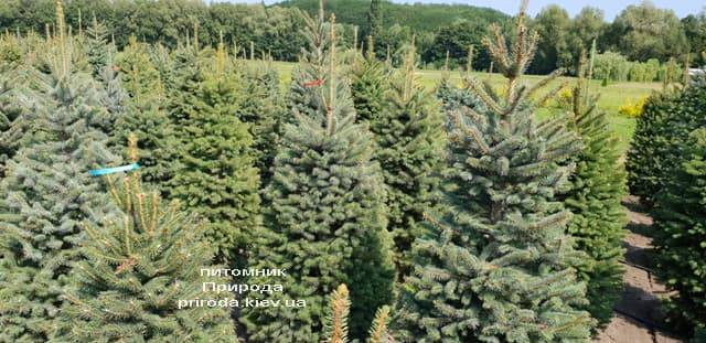 Ель зелёная колючая Глаука (Picea pungens Glauca) ФОТО Питомник растений Природа (13)