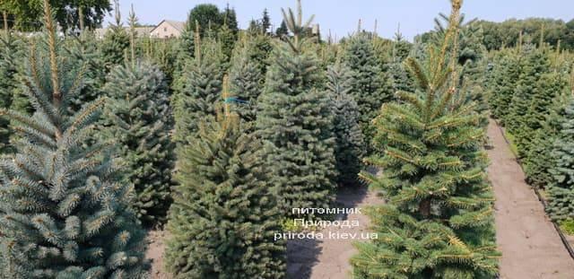 Ель зелёная колючая Глаука (Picea pungens Glauca) ФОТО Питомник растений Природа (14)