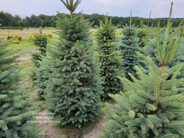 Ель зелёная колючая Глаука (Picea pungens Glauca) ФОТО Питомник растений Природа (15)
