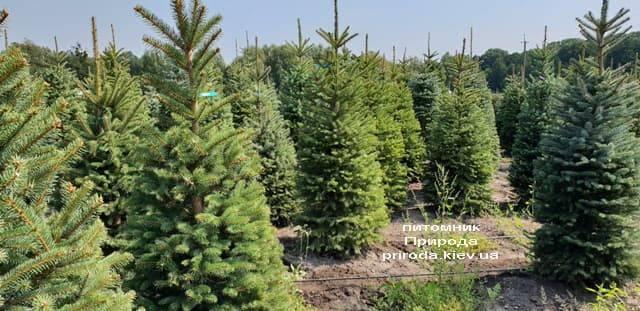 Ель зелёная колючая Глаука (Picea pungens Glauca) ФОТО Питомник растений Природа (17)