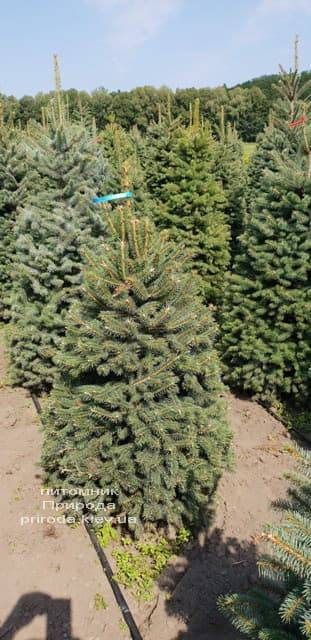 Ель зелёная колючая Глаука (Picea pungens Glauca) ФОТО Питомник растений Природа (2)
