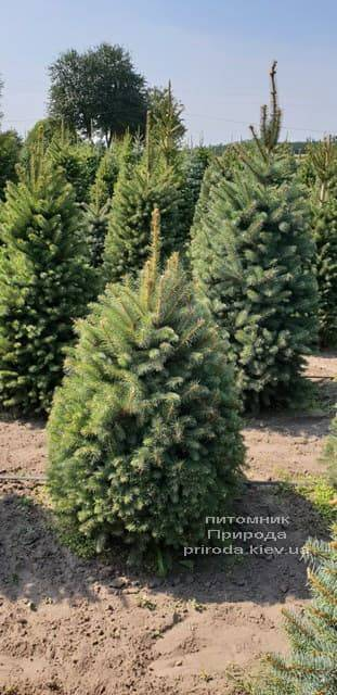 Ялина зелена колюча Глаука (Picea pungens Glauca) ФОТО Розплідник рослин Природа (5)
