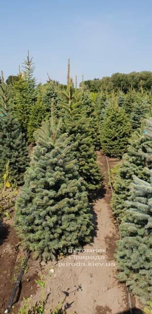 Ялина зелена колюча Глаука (Picea pungens Glauca) ФОТО Розплідник рослин Природа (6)