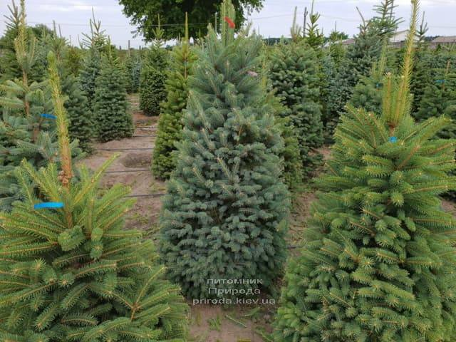 Ялина зелена колюча Глаука (Picea pungens Glauca) ФОТО Розплідник рослин Природа (7)