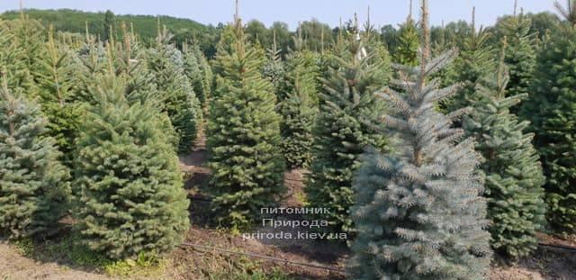 Ялина зелена колюча Глаука (Picea pungens Glauca) ФОТО Розплідник рослин Природа (8)