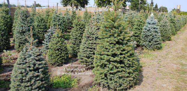 Ялина зелена колюча Глаука (Picea pungens Glauca) ФОТО Розплідник рослин Природа (9)