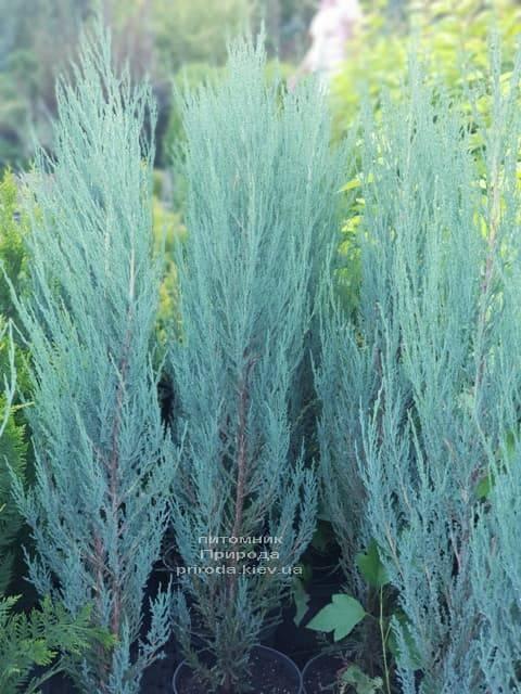 Можжевельник скальный Блю Арроу (Блю Эрроу) (Juniperus scopolorum Blue Arrow) ФОТО Питомник растений Природа (3)