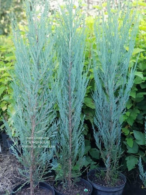 Ялівець скельний Блю Арроу (Блю Ерроу) (Juniperus scopolorum Blue Arrow) ФОТО Розплідник рослин Природа (6)