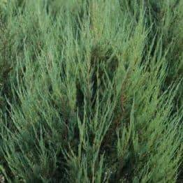 Можжевельник скальный Скайрокет (Juniperus scopulorum Skyrocket) ФОТО Питомник растений Природа (11)