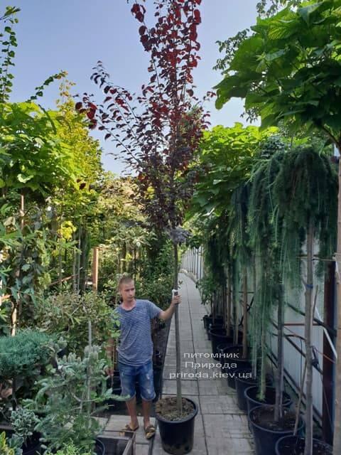 Слива растопыренная Нигра (Prunus cerasifera Nigra) ФОТО Питомник растений Природа (2)