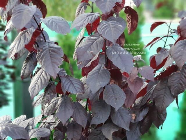 Слива растопыренная Нигра (Prunus cerasifera Nigra) ФОТО Питомник растений Природа (5)