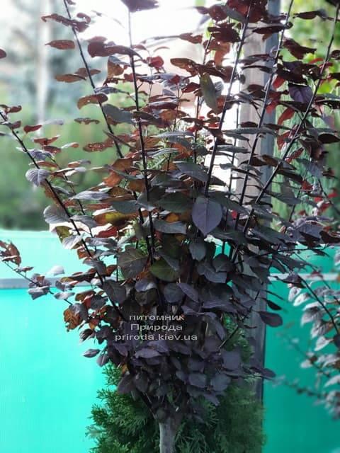 Слива растопыренная Писсарди (Prunus cerasifera Pissardii) ФОТО Питомник растений Природа (1)