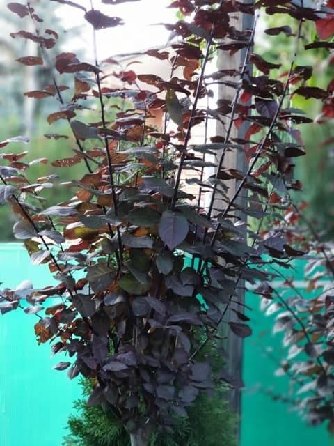 Слива розчепірена Піссарда (Prunus cerasifera Pissardii) ФОТО Розплідник рослин Природа (10)