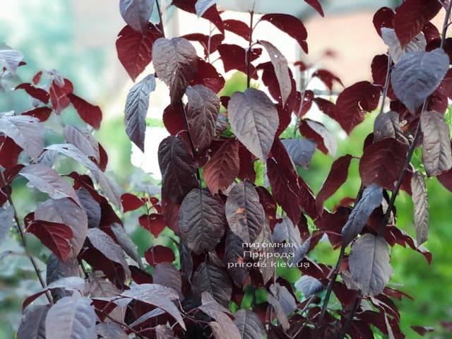 Слива растопыренная Писсарди (Prunus cerasifera Pissardii) ФОТО Питомник растений Природа (2)