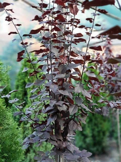 Слива растопыренная Писсарди (Prunus cerasifera Pissardii) ФОТО Питомник растений Природа (8)