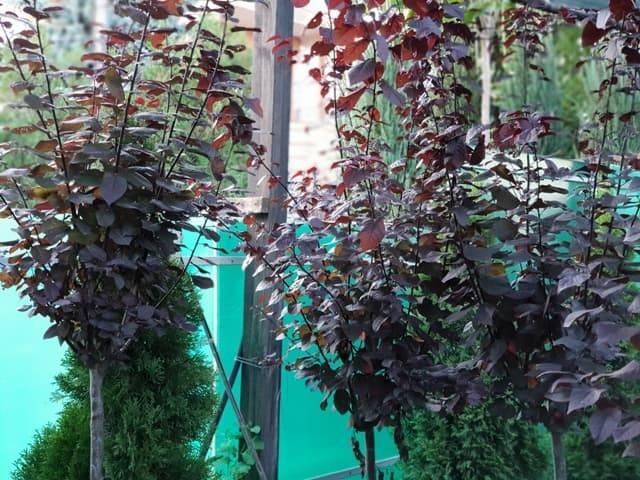 Слива розчепірена Піссарда (Prunus cerasifera Pissardii) ФОТО Розплідник рослин Природа (9)