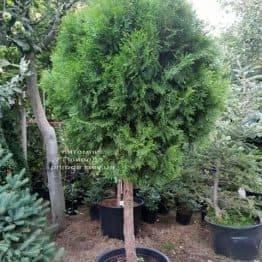 Туя Смарагд на штамбі ФОТО Розплідник рослин Природа (1)