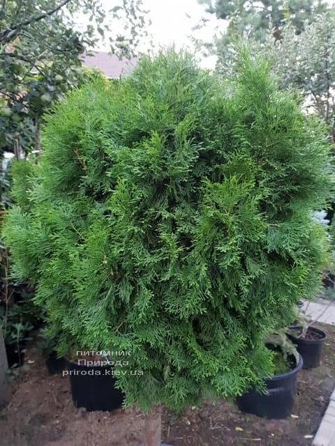 Туя Смарагд на штамбі ФОТО Розплідник рослин Природа (3)