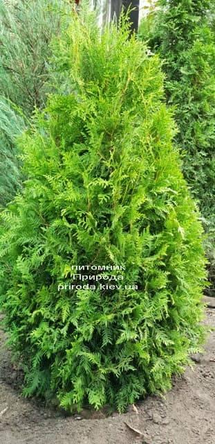 Туя западная Брабант (Thuja occidentalis Brabant) ФОТО Питомник растений Природа (48)