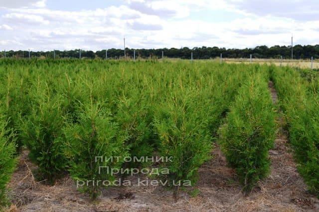 Туя західна Брабант (Thuja occidentalis Brabant) ФОТО Розплідник рослин Природа (46)