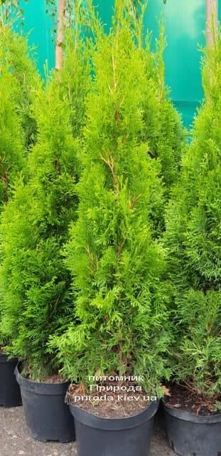 Туя західна Смарагд (Thuja occidentalis Smaragd) ФОТО Розплідник рослин Природа (1-1)