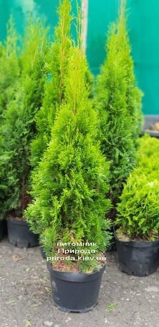 Туя західна Смарагд (Thuja occidentalis Smaragd) ФОТО Розплідник рослин Природа (1)