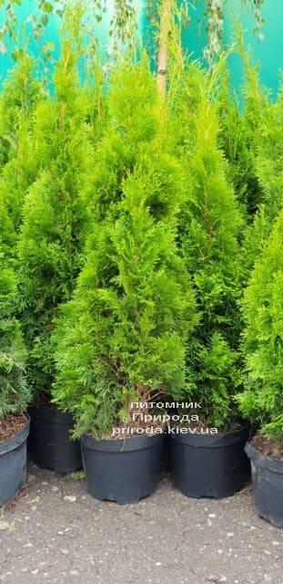 Туя західна Смарагд (Thuja occidentalis Smaragd) ФОТО Розплідник рослин Природа (2-1)