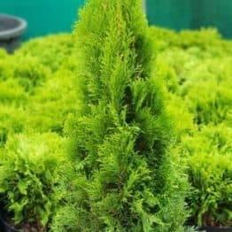 Туя західна Смарагд (Thuja occidentalis Smaragd) ФОТО Розплідник рослин Природа (2)