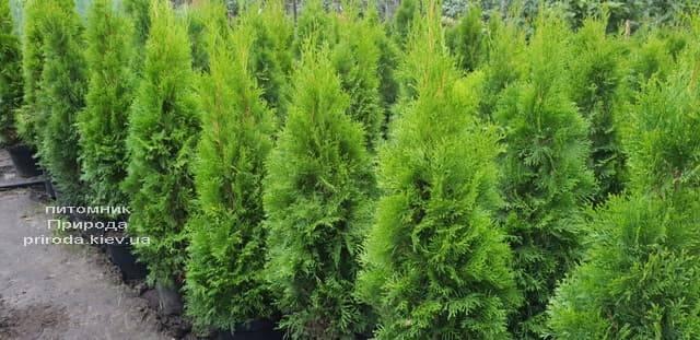 Туя западная Смарагд (Thuja occidentalis Smaragd) ФОТО Питомник растений Природа (52)