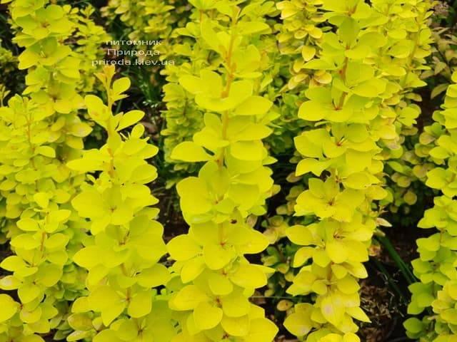 Барбарис Тунберга Марія (Berberis thunbergii Maria) ФОТО Розплідник рослин Природа (1)