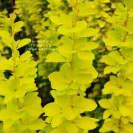 Барбарис Тунберга Мария (Berberis thunbergii Maria) ФОТО Питомник растений Природа (2)