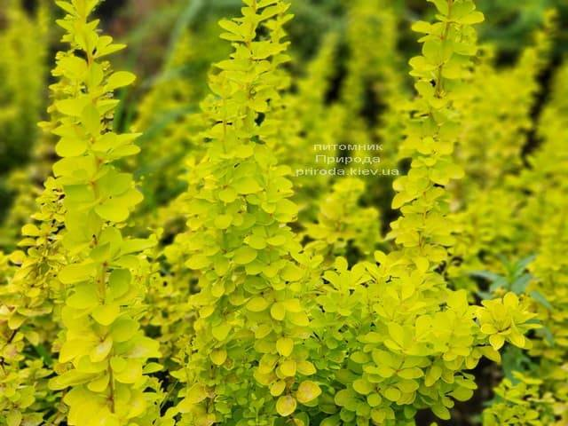Барбарис Тунберга Марія (Berberis thunbergii Maria) ФОТО Розплідник рослин Природа (3)