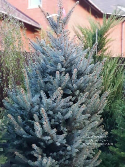 Ель голубая Фат Альберт (Picea pungens Fat Albert) ФОТО Питомник растений Природа (3)