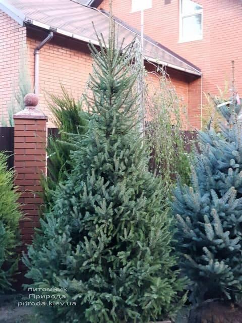 Ель Сербская (Picea omorica) ФОТО Питомник растений Природа (2)