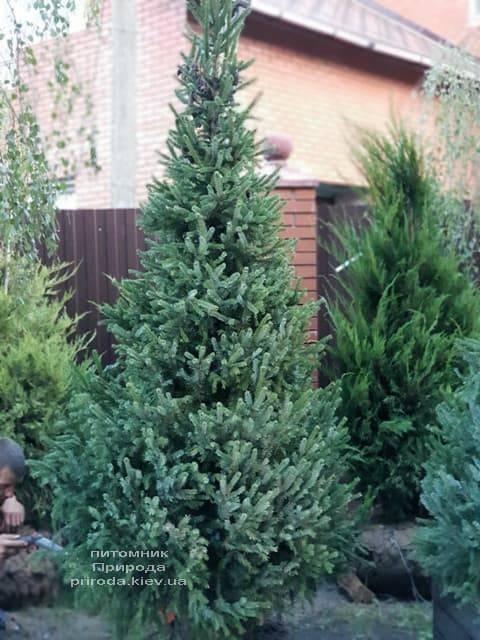 Ялина Сербська (Picea omorica) ФОТО Розплідник рослин Природа (3)