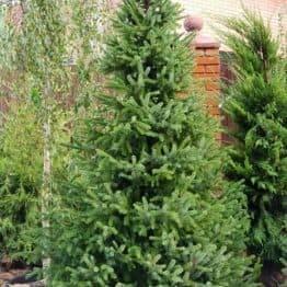 Ялина Сербська (Picea omorica) ФОТО Розплідник рослин Природа (5)