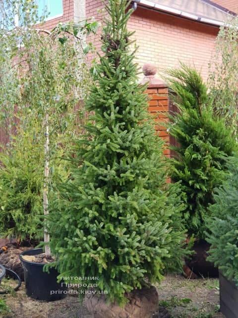 Ялина Сербська (Picea omorica) ФОТО Розплідник рослин Природа (6)