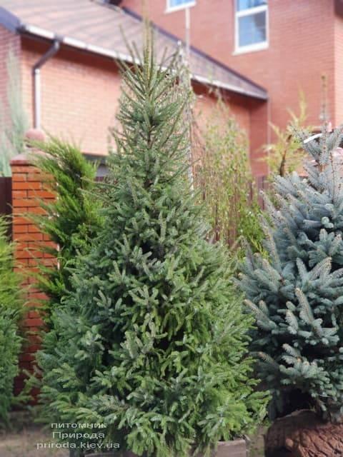 Ялина Сербська (Picea omorica) ФОТО Розплідник рослин Природа (7)